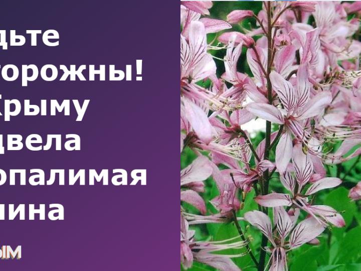 В Крыму зацвела неопалимая купина